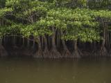 Mangrove forest, Iriomote Island