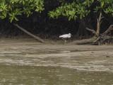 Mangrove inhabitant, Iriomote Island