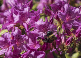 This time, azaleas with bee