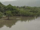 Mangroves, Iriomote Island