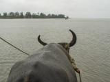Water buffalo perspective