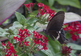 Butterfly and flowers, Taketomi Island
