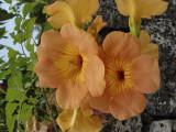 Taketomi Island flowers