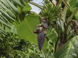 Banana tree, Taketomi Island