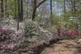 Wall of azaleas