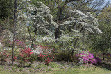 Dogwoods in bloom