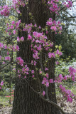 The azalea tree