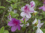 Just a few azaleas at the arboretum (3)