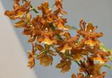 Diagonal orchids