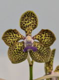 The leopard orchid