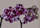 My very own orchid!