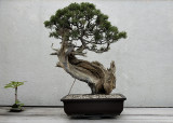 California juniper, in training since 1964