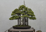 'The most famous bonsai in the world'