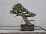 California juniper, in training since 1967