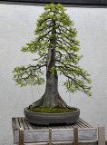 Bald cypress, in training since 1987
