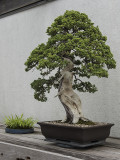 Dwarf Japanese garden juniper, in training since 1975