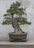California juniper, in training since 1982