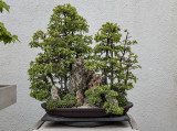 Chinese Juniper, Dwarf Japanese Garden Juniper