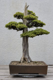 Chinese juniper, in training since 1975
