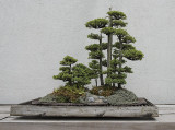 Chinese juniper, in training since 1970