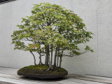 Trident maple, in training since 1975