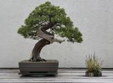 Creeping juniper, in training since 1969