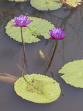 Electric water lilies