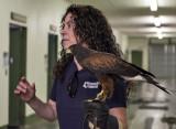 Sundance, the Harris's hawk