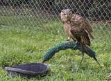 Not yet officially named desert owl