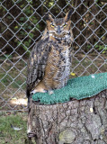 Owltilla, the great horned owl