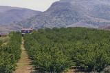 Malatya apricot orchard