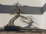 The unnamed bonsai
