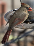 Mrs. Cardinal stops by for a bite