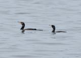 Two cormorants floating along