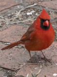 Mr. Cardinal poses for a portrait
