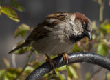The attentive sparrow