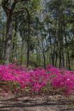 Woodland azaleas