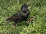 Starling stepping