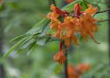 More flame azaleas