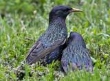 Starling love