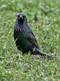 The inquisitive starling