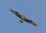 Osprey and catch