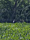 The very distant heron