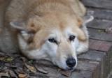 Sahraa, the Kuwaiti Desert Dog