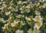 Lily field