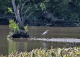 The elusive heron