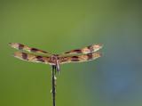 Golden dragonfly revisted