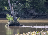 The elusive heron yet again