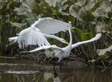 The Great Egret encounter: Eek!