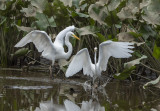 The Great Egret encounter: Showing off